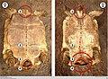 Tortoise dimorphism in Centrochelys sulcata.jpg