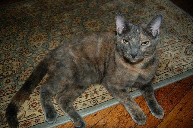 filetortoiseshell cat with dilution genejpg wikimedia