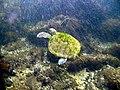 Tortuga Verde en playa del Cerro Buenavista (Área protegida Cabo Polonio)-2.JPG