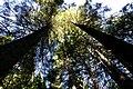 Towering Sunlit Sequoias.jpg