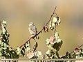 Tree Pipit (Anthus trivialis) (38624957941).jpg