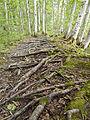 Tree roots 2.jpg