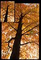 Tree with Fall Leaves (Missouri State Archives) (8203212265).jpg