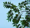 Trema orientalis, loof en blomknoppe, Manie van der Schijff BT, a.jpg