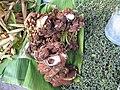 Trevesia palmata inflorescences Laos.jpg