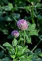 Trifolium pratense inflorescence (02).jpg