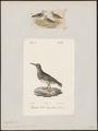 Tringa maritima - 1700-1880 - Print - Iconographia Zoologica - Special Collections University of Amsterdam - UBA01 IZ17400233.tif