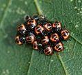 Troilus luridus (Bronze Shieldbug) - 1st instar nymphs and eggs - Flickr - S. Rae.jpg