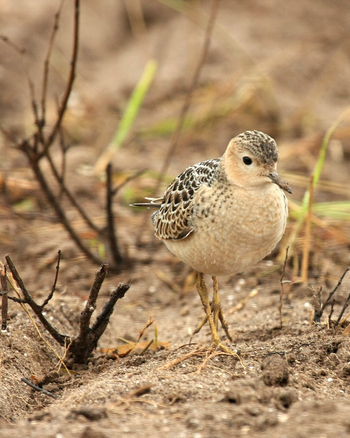 About: Buff-breasted Sandpiper