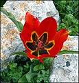 Tulip agenensis ZEMK.jpg