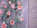 Tulipa-explantions.jpg