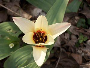 English: White Tulipa (If you know the exact s...