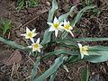 Tulipa turkestanica Y010.jpg