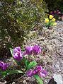 Tulips 005.JPG