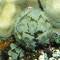 Turbinaria triquetra near Safaga, Red Sea.jpg