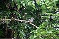 Turdus plumbeus in Dominica-a04.jpg