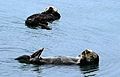 Two Wild Sea Otters (17390907448).jpg