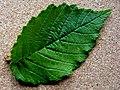 U. minor Majadahonda leaf.jpg