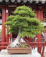 Ulmus parvifolia penjing JB.jpg