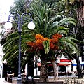 Unidentified Arecaceae in Majorca (4544486287).jpg