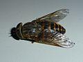 Unidentified Diptera - Les Salles-sur-Verdon 02.JPG