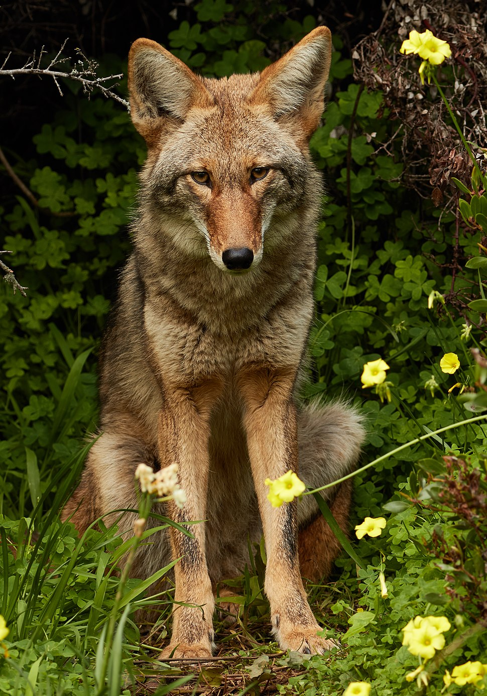 Urban Coyote, Bernal Heights