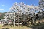 Usuzumi zakura.jpg