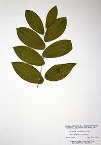 Uvularia grandiflora BW-1979-0522-0420.jpg