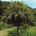 Vacoa Seychelles.jpg