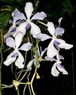 <i>Vanda coerulea</i> species of plant