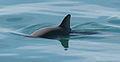 Vaquita5 Olson NOAA.jpg