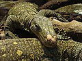 Varanus salvadorii.002 - Zoo Aquarium de Madrid.JPG