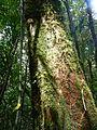Vegetación de la Reserva de la Biosfera La Amistad Panama (RBLAP) 24.JPG