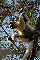 Verreauxsifaka in Kirindy 02.JPG