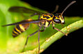 Vespid wasp from Ecuador (14336538490).jpg