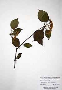 Viburnum lentago BW-1979-0529-0016.jpg