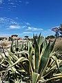 View through Agave Americana on Armona Island.jpg