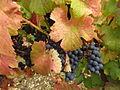 Vigne Louis Pasteur 012.JPG