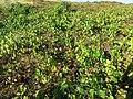 Vigne sauvage dans les dunes de Capbreton.jpg