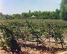 Common vineyard (ca. 1910)