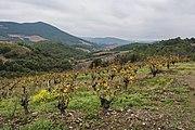 Vineyards in Berlou 01.jpg