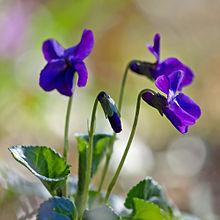 Immagini Fiori Violette.Viola Botanica Wikipedia