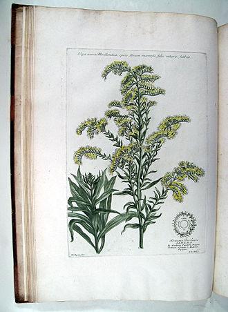 Jacob van Huysum - Solidago virga-aurea L.Historia Plantarum Rariorum