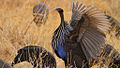 Vulturine Guineafowl flapping its wings.jpg