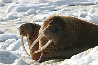 Walrus - Female with young