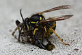 Wasp eating Spider 1 5 (2716189301).jpg
