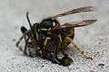 Wasp eating Spider 1 5 (2716189301).jpg