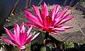Water-lily flowers (2470340750).jpg