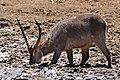 Waterbuck (Kobus ellipsiprymnus) drinking ... (33044460456).jpg