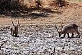 Waterbucks (Kobus ellipsiprymnus) males ... (50217719087).jpg